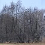 Viele Kormorane im Winter - Schmogrow