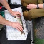 Fischerfassung Greifenhainer Fließ